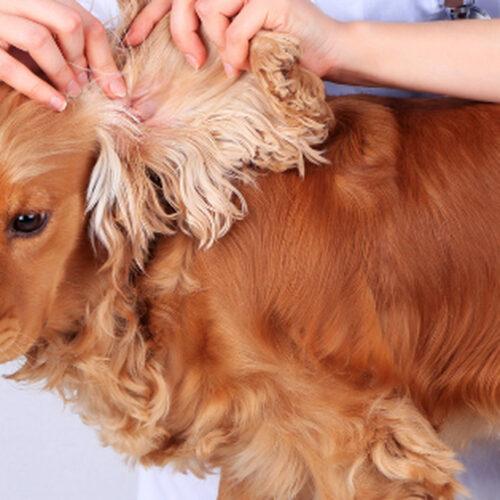 zapalenie uszu u psów