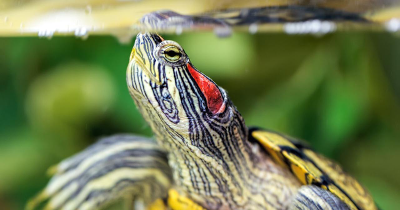 czym karmić żółwia